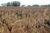 På Halla Gårds blandade jordar har lupinen hittills gett god skörd sedan 2017.